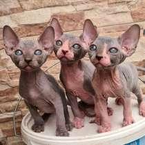 Продаются котята породы сфинкс, в г.Холон