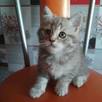 Шотландские котята, в г.Барановичи