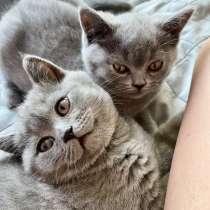 Шотландские плюшевые котята, в Москве