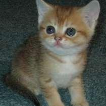 Шотландские котята золотые тиккированные, в г.Мариуполь