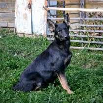 Хотите щенка овчарки, в Иванове