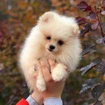 For sale beautiful Pomeranian spitz‼️, в г.Рига