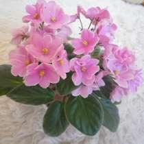 Цветы-синполии(фиалка) махровая на цвету, рассада, в Бердске