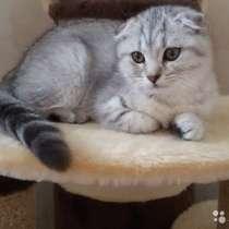 Кот на вязку 2000 котята от 2000, в Ярославле