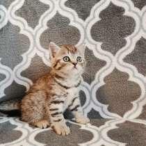 Шотладский котёнок, в г.Пинск