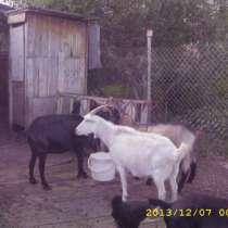 Продам коз и козлят, в Челябинске