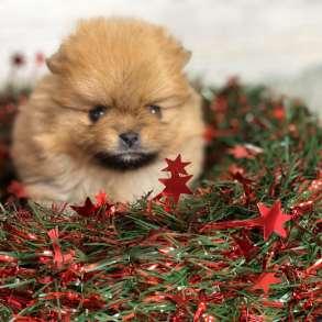 Puppy Pomeranian Spiz, в г.Амстердам