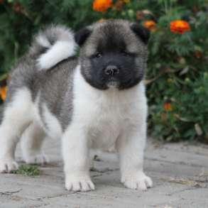 Очаровательные щенки Акита, продажа, в Москве