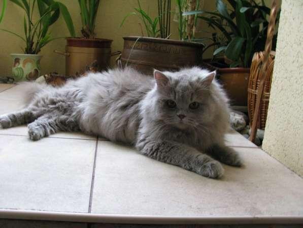 Британская длинношерстная кошка Питомник британских кошек s