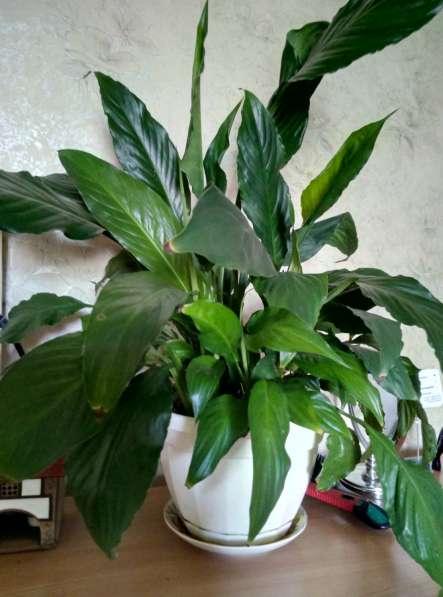 Растения для дома и офиса в Новосибирске фото 16