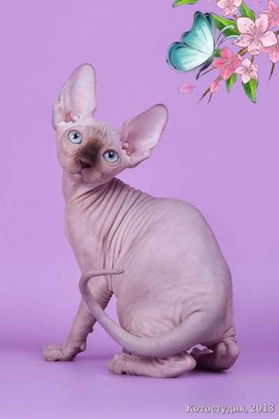 Эльф, бамбино, Канадский сфинкс, котята в Москве фото 7