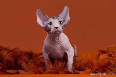 Инопланетный гламурчик- Эльф, Бамбино, сфинкс! в Самаре фото 4
