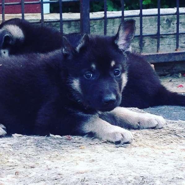 Продам щенков в Москве