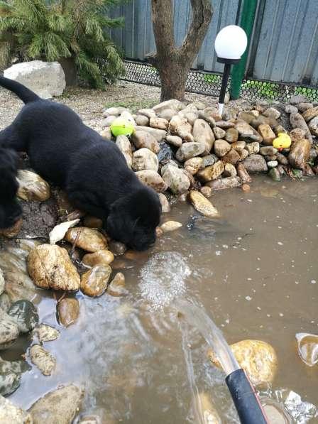 Великолепные щенки лабрадора в Ростове-на-Дону фото 4