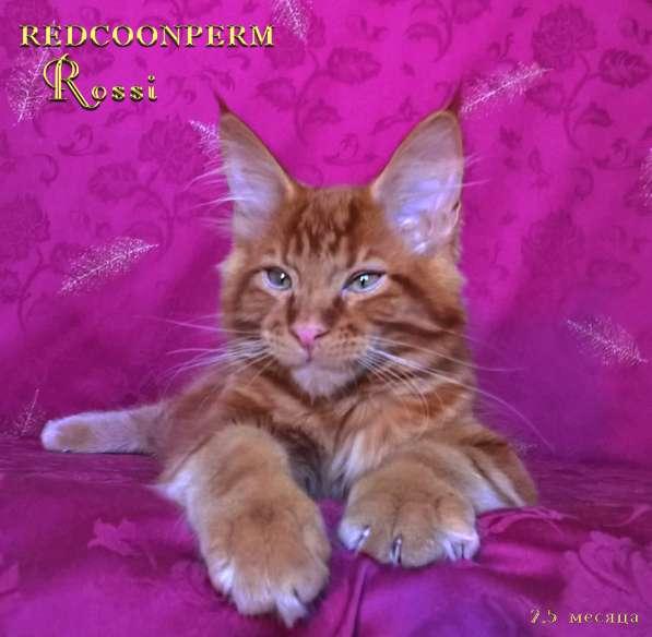 Котенок мейн кун красный солид. Шоу класс в Перми фото 10