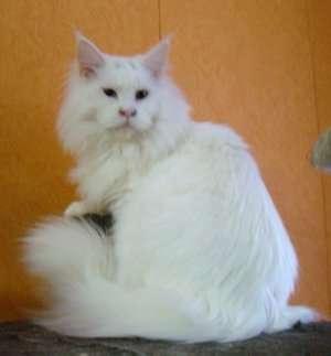 Продам котенка Мэйн Кун в Люберцы фото 8