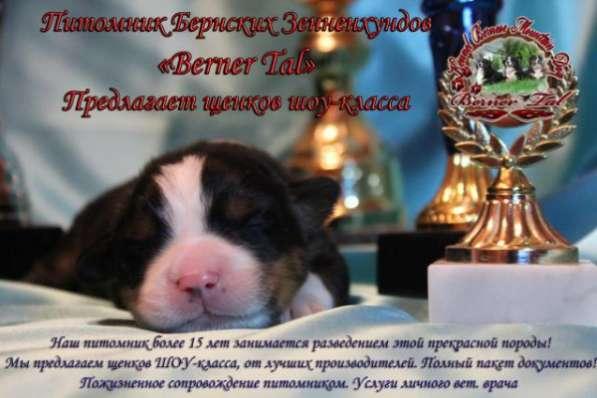 Прекрасные щенки Бернского Зенненхунда