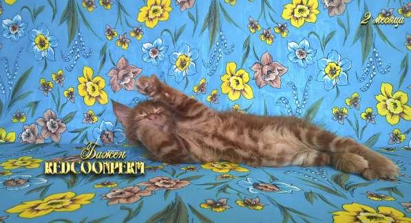 Котёнок менй кун красный солид. Шоу класс в Перми фото 11