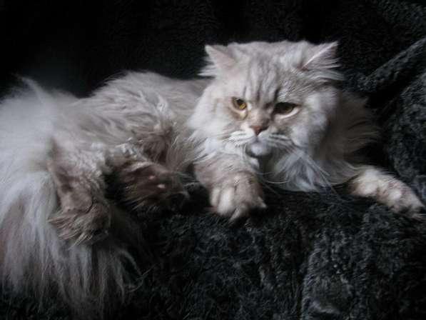 Британский длинношерстный кот хайленд