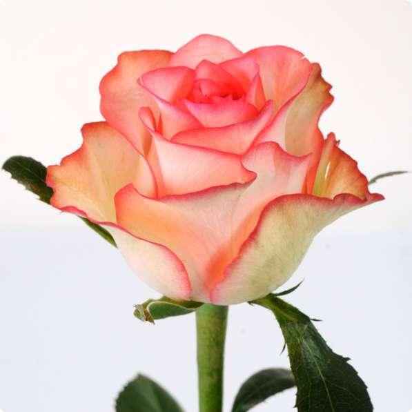 Срез для букетов (розы) в Ростове-на-Дону фото 6