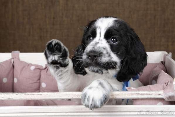 Чудесные щенки английского кокер-спаниеля ждут вас в Перми фото 9