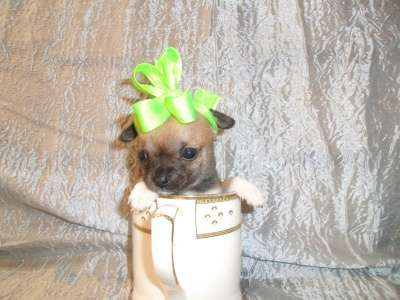 щенки чихуа-хуа 1.5 месяцев