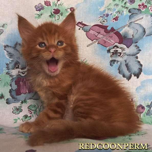 Котята мейн кун красные в Москве фото 17