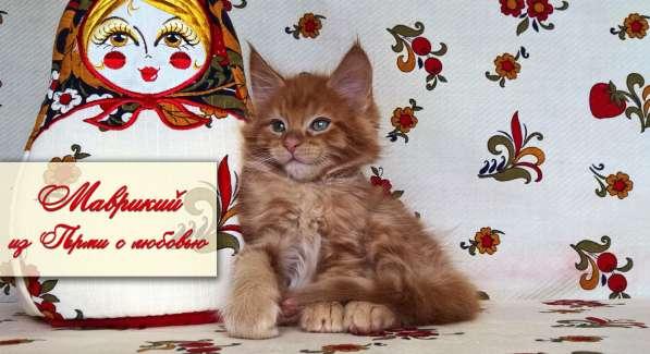 Котята мейн кун красные