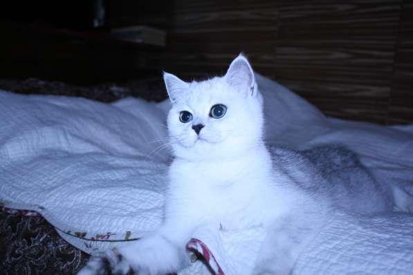 Котята серебристой шиншиллы в Москве