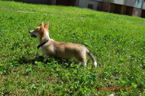 Вельш корги пемброк щенки в Смоленске фото 5