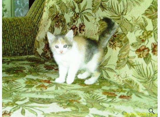 Котенок трехцветный в Ростове-на-Дону фото 3
