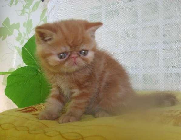 Котята экзотические красный мрамор, белые, блю-пойнт
