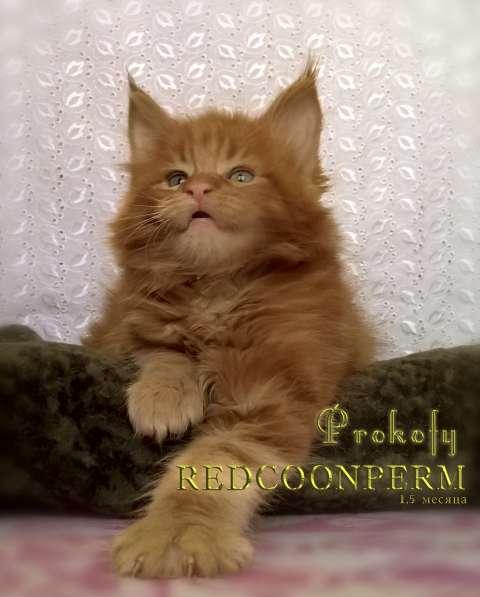 Котенок мейн кун красный солид. Шоу класс в Перми фото 9