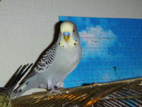 Волнистые попугаи-Самцы от 2х лет в Москве фото 4
