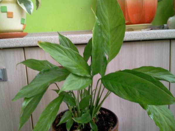 Спатифиллум - это растение без горшка