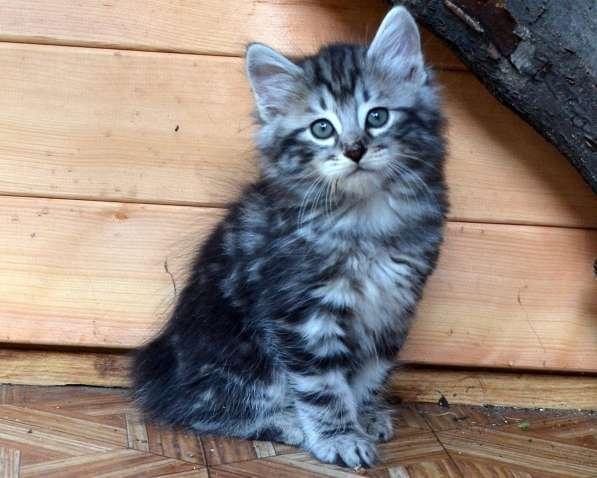Котенок порода Курильский бобтейл