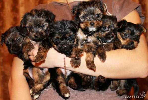 Йоркширские щенки