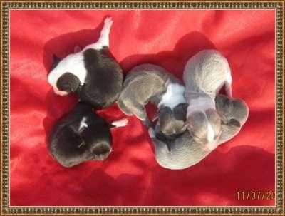 Щенки Мини чихуахуа редких окрасов