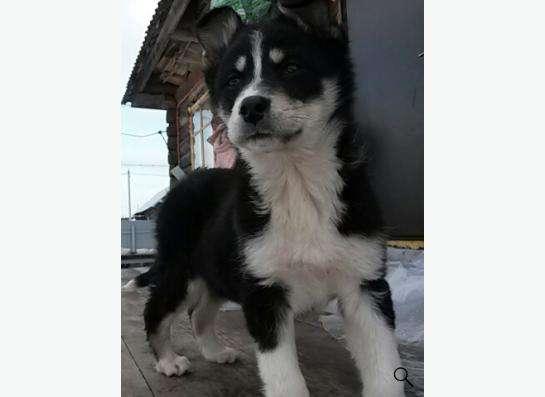 отдам щенка в Воткинске фото 4
