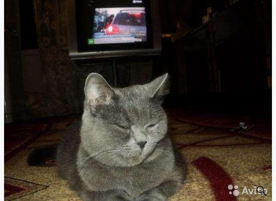 Шотландские котята скоттиш страйт в Екатеринбурге фото 4