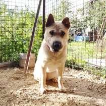Метис шарпея, обаятельная собака ищет дом, в г.Санкт-Петербург