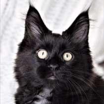 Котята Мейн-кун из питомника, в г.Санкт-Петербург