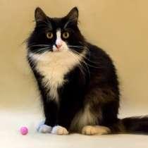Отдам даром Том, роскошный молодой домашний котик, в г.Москва