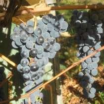 Виноград с куста, в Саратове