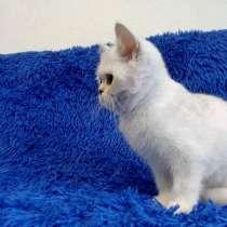 Котята британской короткошерстной породы драгоценных окрасов, в Новосибирске