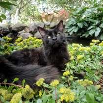 Котик мейн-кун, в Нижнем Новгороде