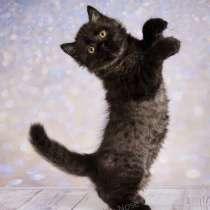 Британские котята, в Мытищи