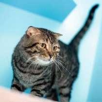 Британский вислоухий красавец, домашний котик Барон в дар, в г.Москва