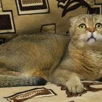 Шотландский кот в добрые руки, в Жуковском