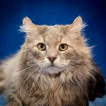 Отдам даром Уютный, спокойный котик-домосед Семёныч, в г.Москва